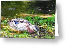 A Female Mallard Duck Is See Searching For Food 1 Greeting Card