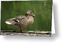 A Female Mallard Standing On A Piece Of Wood Greeting Card