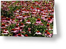 A Field Of Echinacea Greeting Card
