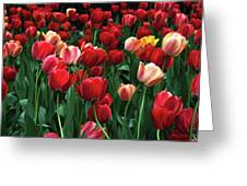 A Field Of Tulips Greeting Card