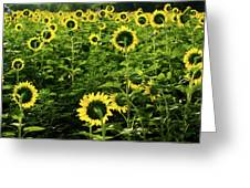 A Flock Of Blooming Sunflowers Greeting Card by Dennis Dame