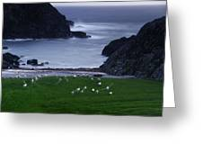 A Flock Of Sheep Graze On Seaweed Greeting Card by Jim Richardson