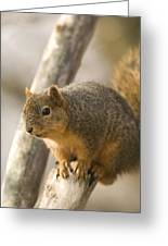 A Fox Squirrel Sciurus Niger Perches Greeting Card