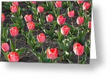 A Garden Full Of Tulips Greeting Card