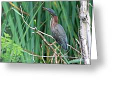 A Green Heron By The Canal Greeting Card