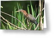 A Green Heron Stalks Prey Greeting Card