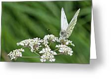 A Green-veined White (pieris Napi) Greeting Card