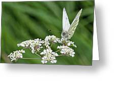 A Green-veined White (pieris Napi) Greeting Card by John Edwards