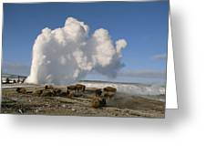 A Group Of American Bison Rest Greeting Card