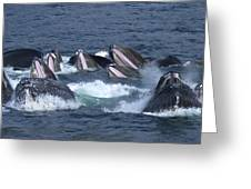 A Group Of Humpback Whales Bubble Net Greeting Card by Ralph Lee Hopkins