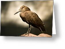 A Hammerkop At The Lincoln Childrens Greeting Card