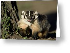 A Hand-raised Badger At The Home Greeting Card