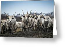 Grey Cattle Herd Greeting Card