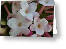 A Hint Of Pink Greeting Card