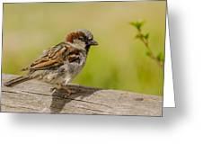 A House Sparrow Greeting Card