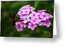 A Hummingbird Moth With Phlox Flowers Greeting Card