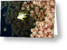 A Juvenile Golden Damsel Fish Shelters Greeting Card