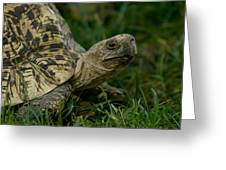 A Leopard Tortoise At The Lincoln Greeting Card