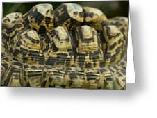 A Leopard Tortoise On The Move Greeting Card
