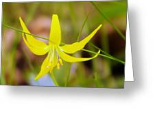 A Lilly In Bloom  Greeting Card