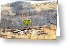 A Lonely Pine Tree Greeting Card