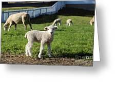 A Longwool Lamb Greeting Card