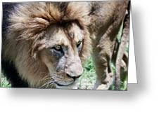 A Male Lion, Panthera Leo, King Of Beasts Greeting Card