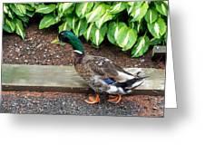 A Male Mallard Duck 4 Greeting Card