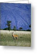A Male Ugandan Kob Stands His Ground Greeting Card