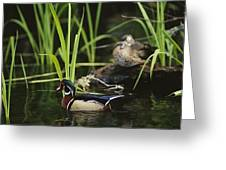 A Male Wood Duck Swims Past Its Mate Greeting Card