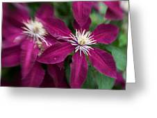 A Pair Of Clematis Flowers Greeting Card