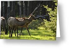 A Pair Of Cow Elk  Greeting Card