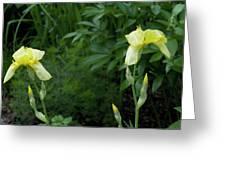 A Pair Of Yellow Bearded Iris 2 Greeting Card