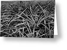 A Pineapple Field Near Nassau, Bahamas, 1883 Greeting Card