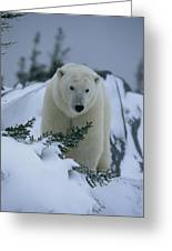 A Polar Bear In A Snowy, Twilit Greeting Card by Norbert Rosing