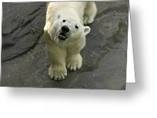 A Polar Bear Looks Up At Its Observers Greeting Card