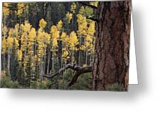 A Ponderosa Pine Tree Among Aspen Trees Greeting Card