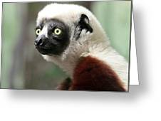 A Portrait Of A Sifaka Primate, A Large Lemur Greeting Card