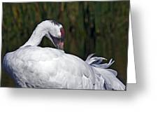 A Preening Whooping Crane Greeting Card