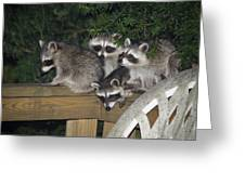 A Quartet Of Baby Raccoons Raids Greeting Card