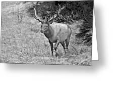 A Rack Of Antlers - Roosevelt Elk - Olympic National Park Wa Greeting Card