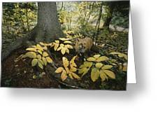 A Red Fox On Isle Royale In Lake Greeting Card