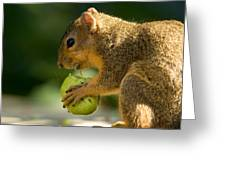 A Red Fox Squirrel Chews On A Walnut Greeting Card