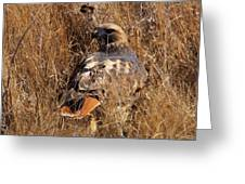 A Red Tailed Hawk  Greeting Card