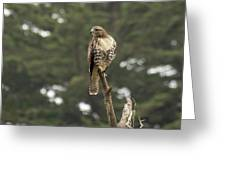 A Red-tailed Hawk Juvenile Greeting Card
