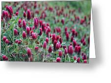 A Riot Of Red Clover Greeting Card
