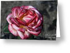 A Rose Of Different Shades Of Red Greeting Card