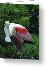A Roseate Spoonbill Along The Gulf Greeting Card
