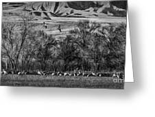 A Sedge Of Sandhill Cranes Greeting Card