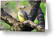 A Shady Woodland Bird Red-bellied Woodpecker Greeting Card